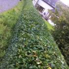 Residential hedge trimming